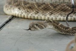 Close-Up of the Rattlesnake