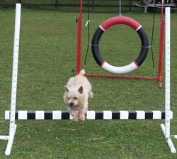 Mick - Agility Picture