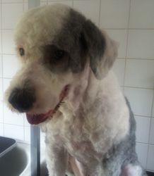 Digby - Old English Sheepdog