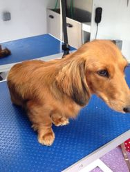 After - Long Haired Dachshund