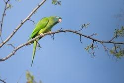Blue-crowned Parakeet (CONURE A TETE BLEUE)
