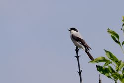 Lesser Grey Shrike  -  PIE -GRIECHE A POITRINE ROSE
