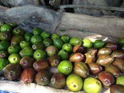 Avocados at Farm