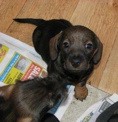 cute pup 6wks