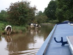 Cows in the canal!