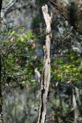 Woodpecker on Cumberland Island