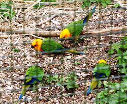 Rare parrots