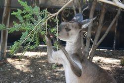 Kangaroo at Adelaide