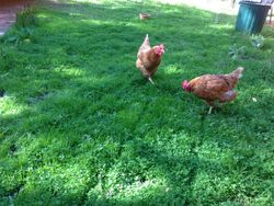 Free ranging and clipping your lawn