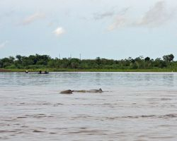 The elusive pink and grey river dolphins