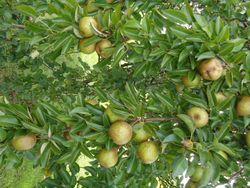 Pairs of pears to pare