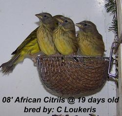 African Citril babies
