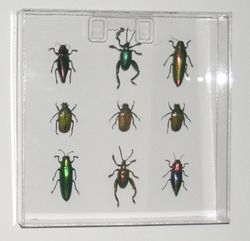 9 beetles in acrylic square frame