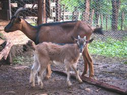 Kenya Alpine goat and kid