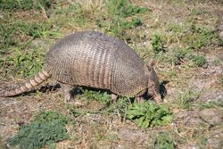 Armadilo at Fort Pickens, Pensacola FL