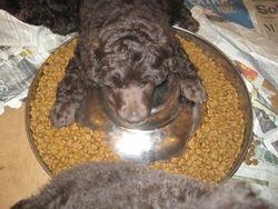 Sleeping on the food dish!  6.5 weeks old.