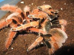 M. robstum breeding