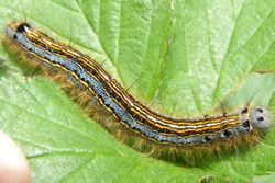 Lackey Moth