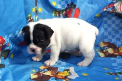 SIRENE:  $3295, Female, AKC French Bulldog, Companion, or $3795 Full AKC registration, born 4-17-15, pics on 5-15-17 to Blue Spice and Geronimo, 2 year health, puppy wellness exam, Reunite microchip, more