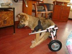 Borko crippled dog