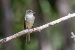 Crescent-eyed Pewee