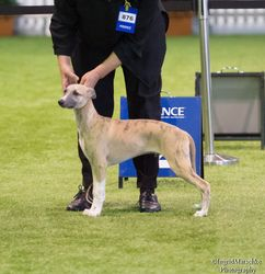 Whippet Best Baby Puppy of Breed
