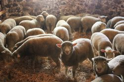 2012 ewe lambs