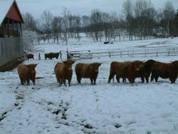 Yearling hiefers
