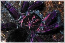Pamphobeteus nigricolor