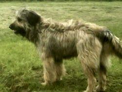 Taz...Catalan Sheepdog