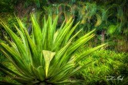 Giant Aloe
