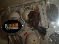 duck hatching