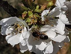 A l'assaut du cerisier