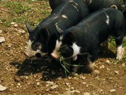 Grass eating piglets!