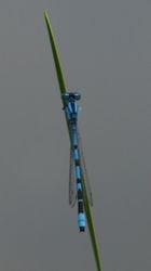 Common Coenagrion
