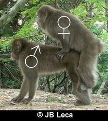 female-male mounting (double foot-clasp posture, Arashiyama)