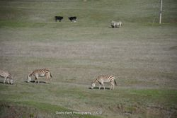 Zebras In A Cow Pasture