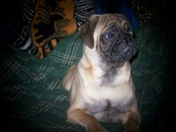 "LITTER SIRE - ""LORD BOLD RULER ZEUS"" - WHELPED 6/7/2012"