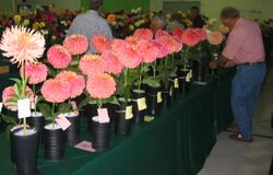 The Club Flower of the year was Wyn's Moonlight Sonata- There were a lot of nice entries.