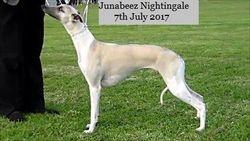Junior Bitch class Nightingale