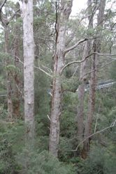 Tall Tree during the Tree Top Walk
