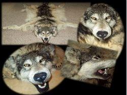 Full wolf headdress 2012