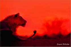 Lion at sunset
