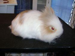 dwerg konijn
