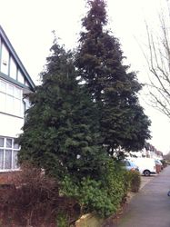 Conifer before