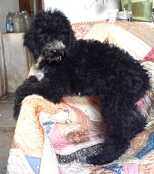 Buster:  $995, male Airedoodle, born on 4-21-17, pics on 5-29-17, Mother is a Giant Airedale, father is a Royal Standard Poodle, 2 year health guarantee, home raised, care recommendations, Reunite Microchip, lifetime support, and more