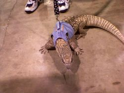 Savannah Monitor in Cat Walking Jacket!