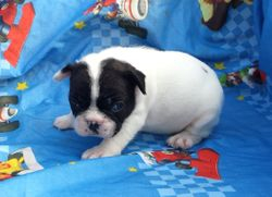 SIRENE:  $2595, Female, AKC French Bulldog, Companion, or $3795 Full AKC registration, born 4-17-15, pics on 5-15-17 to Blue Spice and Geronimo, 2 year health, puppy wellness exam, Reunite microchip, more