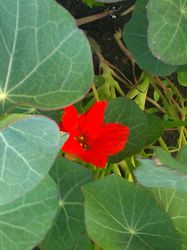 """Empress of India"" heirloom Nasturtium"