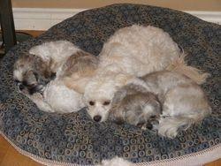 Pugsy,Dexter and Tiffany cuddling!!